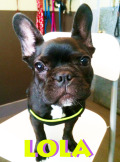Lola (frenchie)