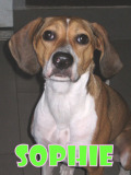 Sophie (hound mix)